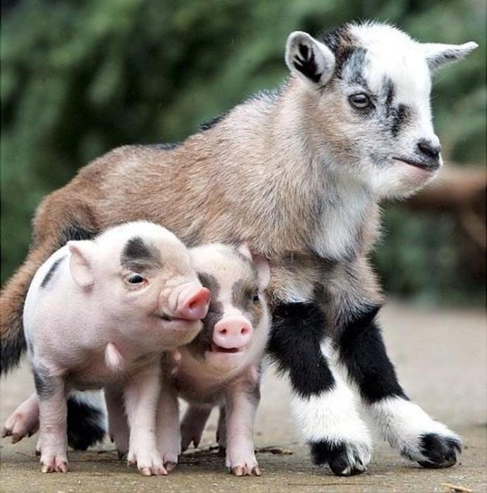 дружба животных12 (691x700, 300Kb)