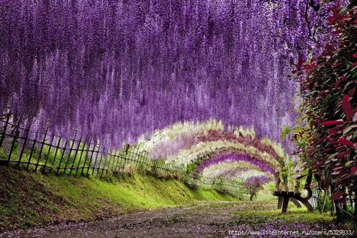 30-Wisteria Tunnel (700x466, 351Kb)