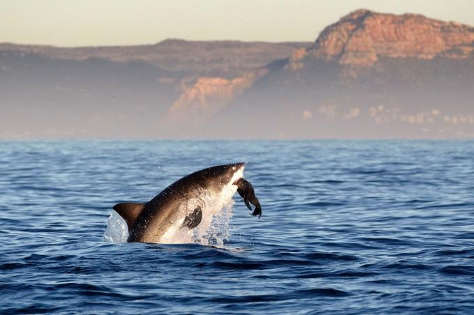 белая акула фото 2 (680x452, 238Kb)