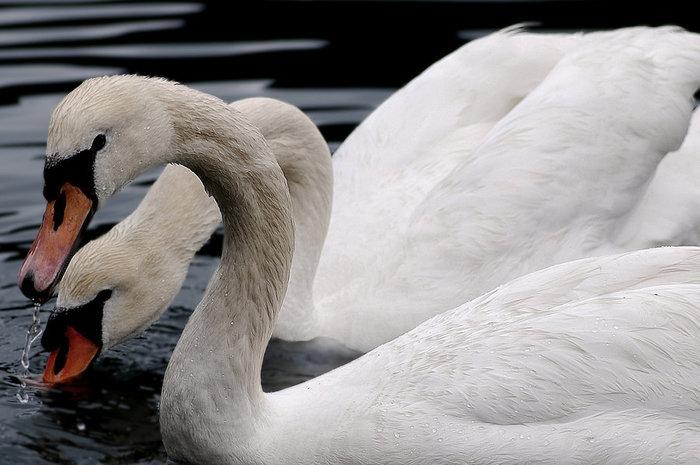 3166706_swans_by_tinikkend4j8t1j (800x533, 66Kb)