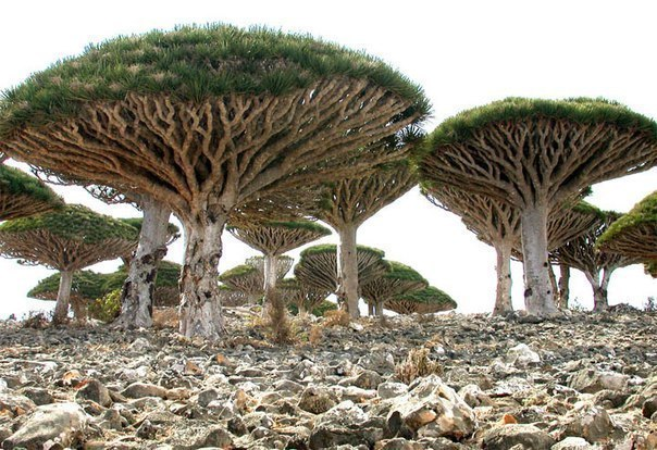 Деревья-грибы (604x414, 96Kb)