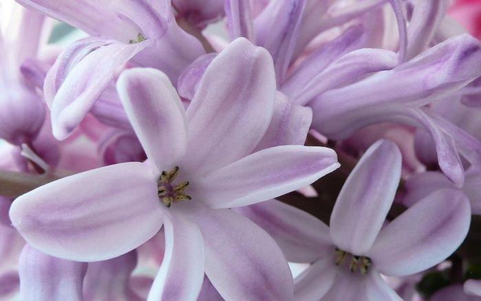 Картинки цветка гиацинт 7
