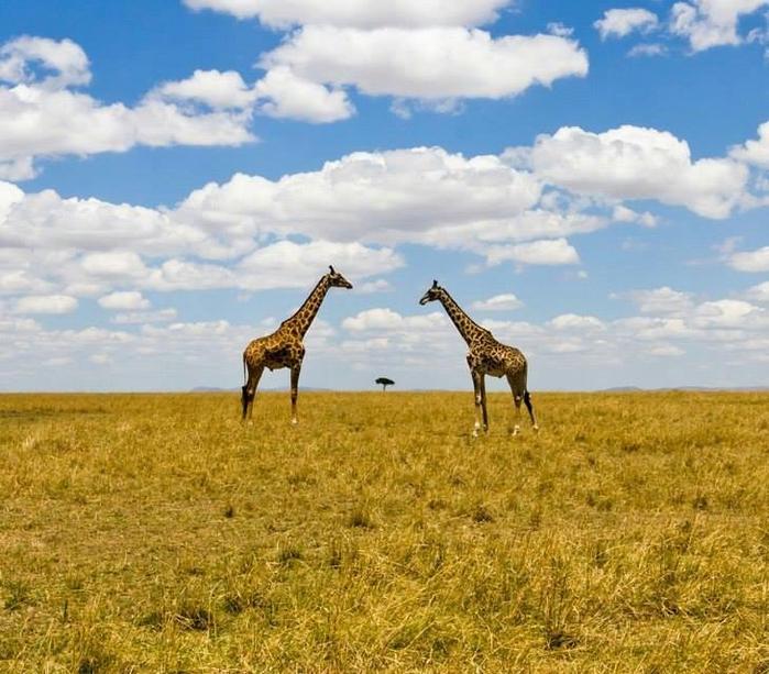 Жирафы в cаванне, Кения (700x613, 470Kb)