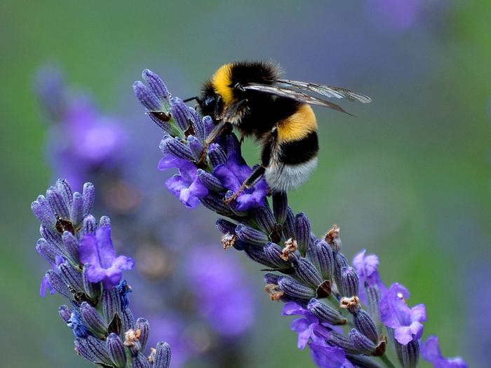 honey-lavand1 (700x525, 398Kb)