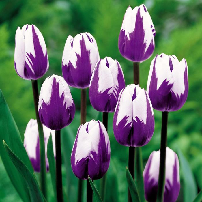 тюльпан 1а (700x700, 502Kb)