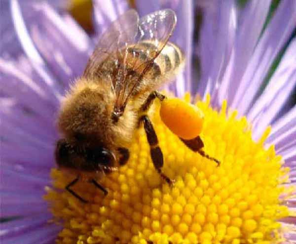 bee-pollen3 (600x494, 44Kb)