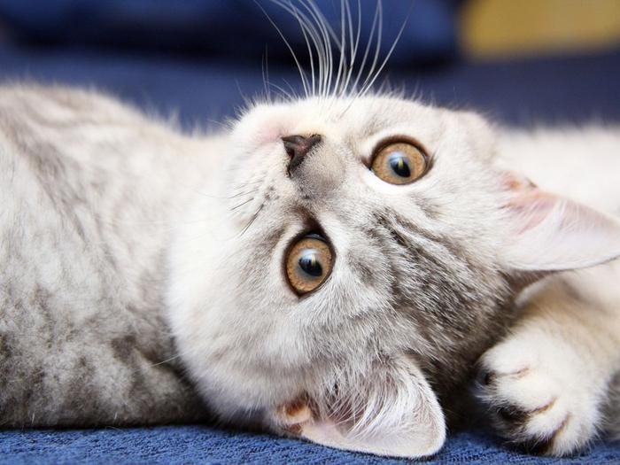 кошки7 (700x525, 264Kb)