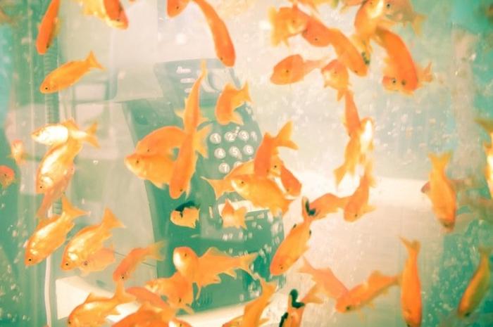 уличные аквариумы с золотыми рыбками япония 2 (700x465, 318Kb)