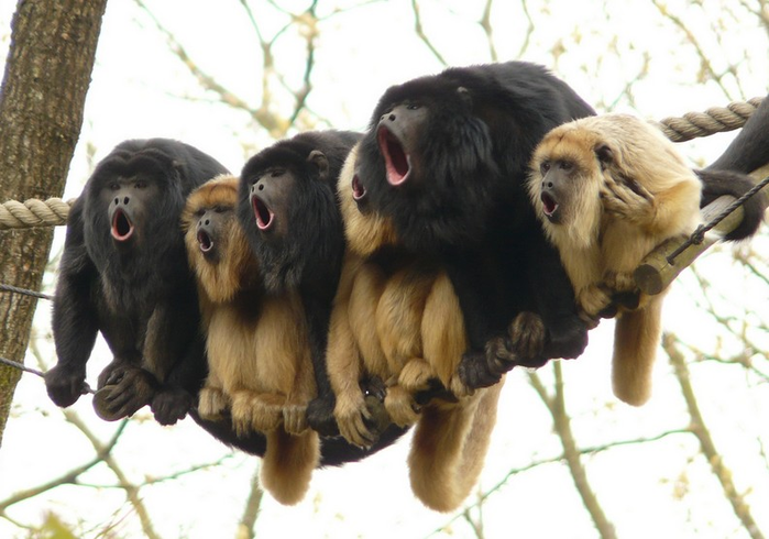 MonkeyChoir (700x490, 448Kb)