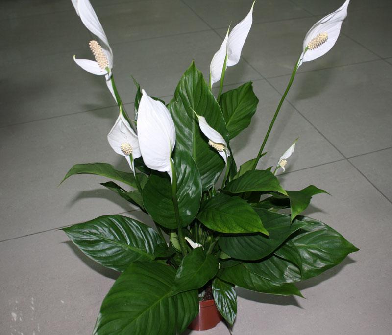 Спатифиллум цветок мужское счастье