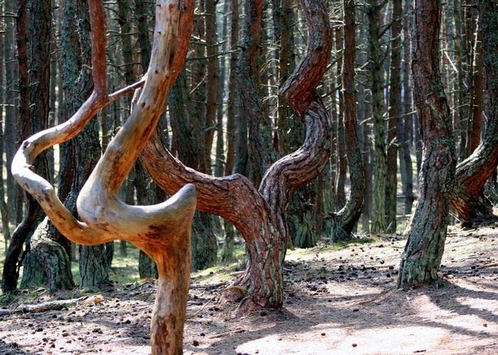 Танцующий лес. Куршская коса.