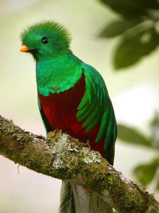 resplendent_quetzal (524x700, 230Kb)