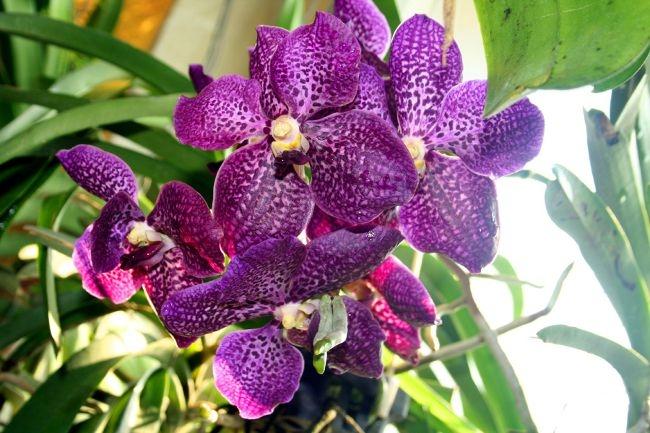 vanda-orchid1 (650x433, 194Kb)