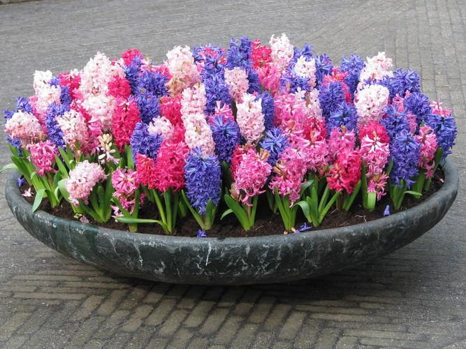 Гиацинт фото цветов 5