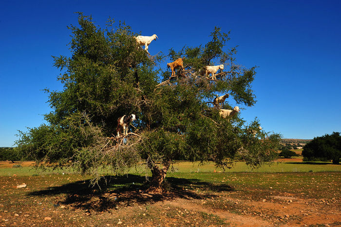 Козы на деревьях в Марокко.