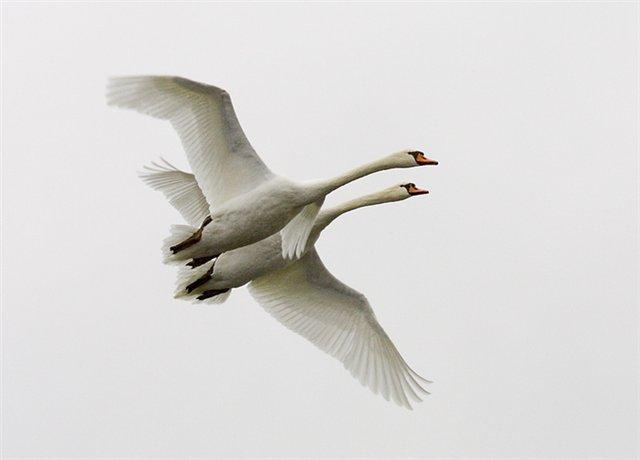 лебеди в полете (500x460, 64Kb)