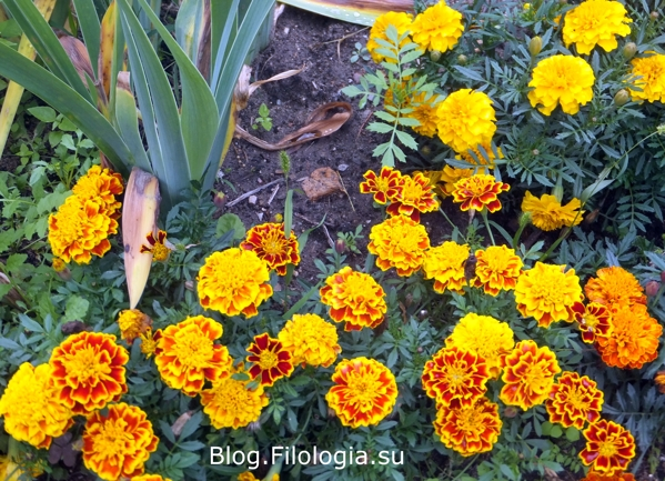 Цветы летом/3241858_flowers5 (599x433, 287Kb)