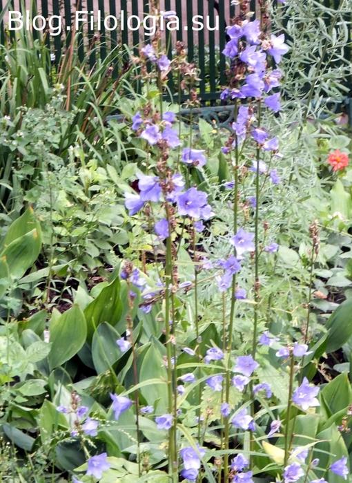 Голубые колокольчики/3241858_flowers8 (510x700, 354Kb)
