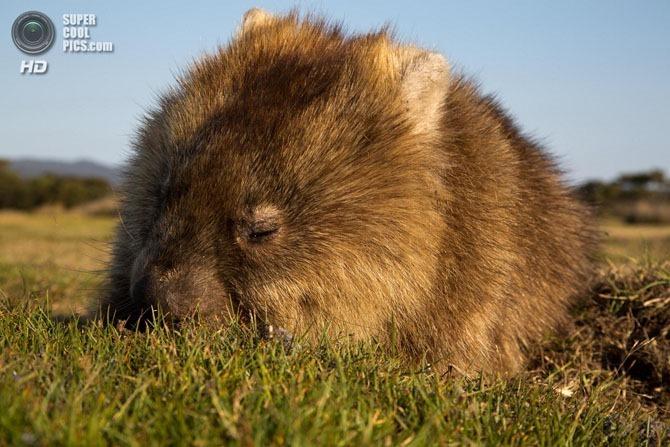 Вомбаты   «мини медведи» Австралии