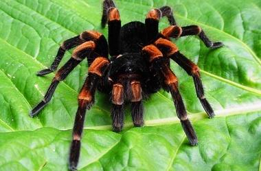 На украине ядовитые пауки 380x250 52kb