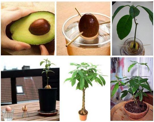 авокадо из косточки (543x428, 193Kb)