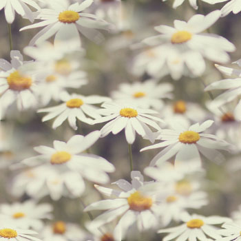 4700719_daisy106 (350x350, 47Kb)