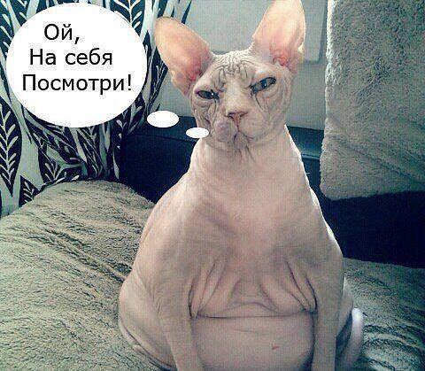 лысая кошка беременная фото