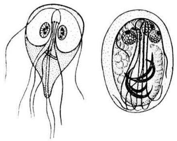 паразиты лямблии симптомы