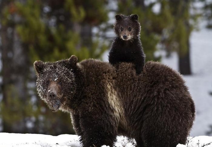 фото-National-Geographic-Медведи-милота-490180 (700x486, 285Kb)