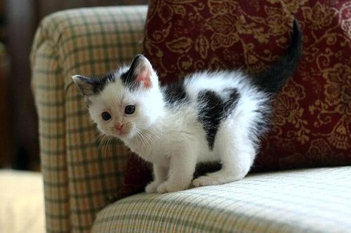 сердечные кошки0 (700x465, 194Kb)