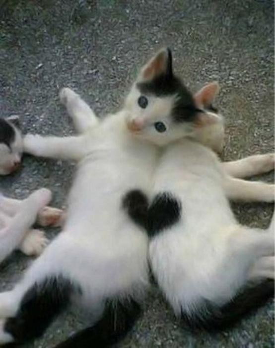 сердечные кошки15 (554x700, 192Kb)