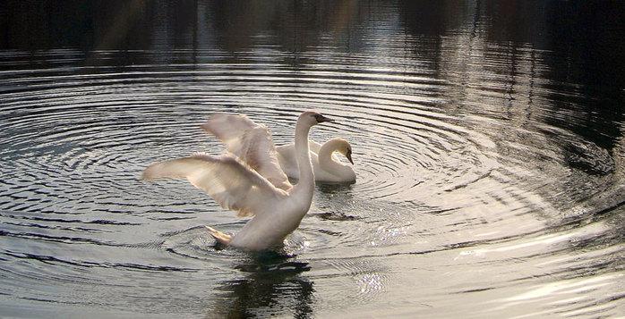 Гуси-лебеди на воде. (700x357, 91Kb)