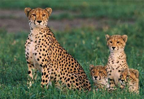 cheetah-cubs (470x324, 163Kb)