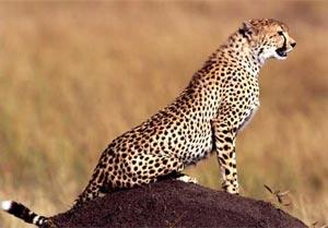 cheetah (300x209, 60Kb)