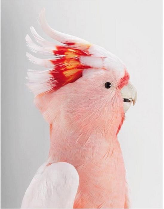 попугаи4 (549x700, 155Kb)
