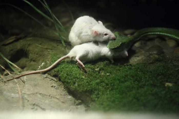 белая мышь и змея фото (700x466, 205Kb)