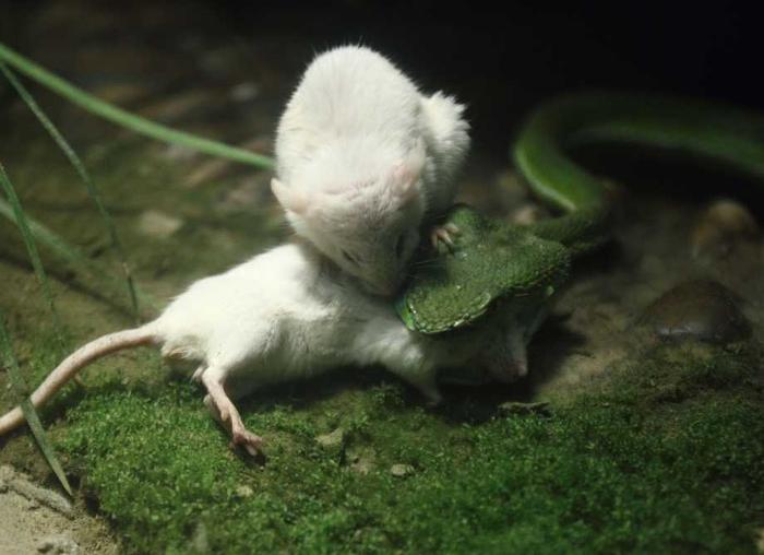белая мышь и змея фото 2 (700x508, 236Kb)
