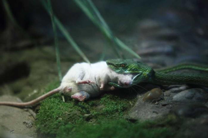 белая мышь и змея фото 4 (700x466, 190Kb)