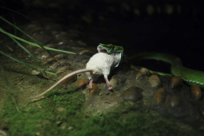 белая мышь и змея фото 6 (700x466, 184Kb)