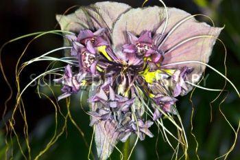 C0012715-Bat_flower_Tacca_chantrieri_-SPL (350x233, 99Kb)