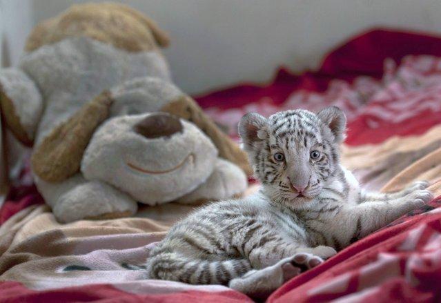 белый бенгальский тигренок 8 (639x439, 132Kb)