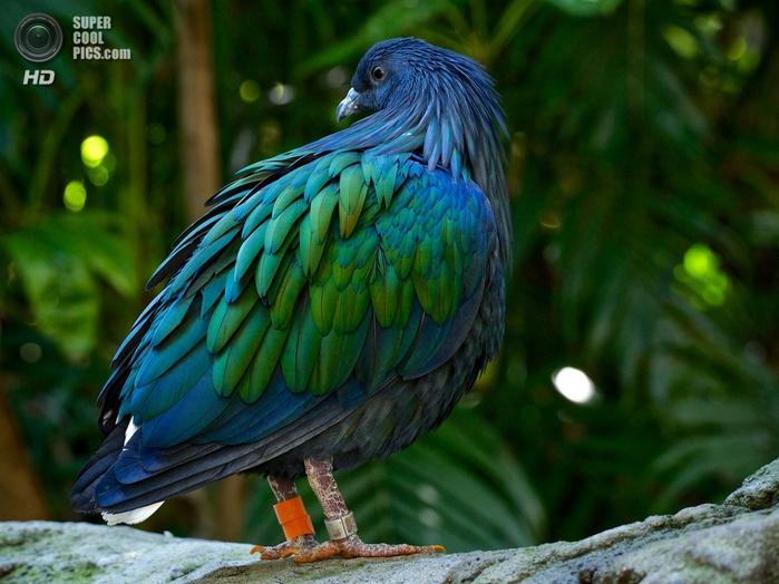 гривастый голубь фото (700x524, 286Kb)