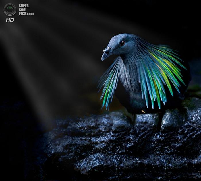 гривастый голубь фото 7 (700x631, 252Kb)