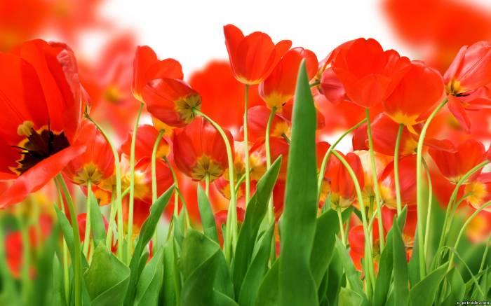 цветы лета 12 (700x437, 275Kb)