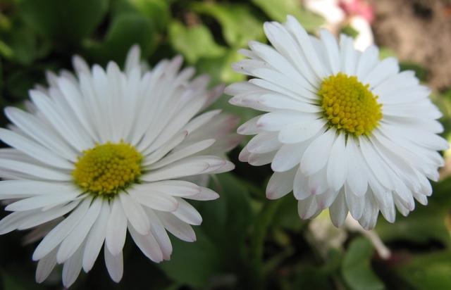 летние цветы 16 (640x412, 237Kb)
