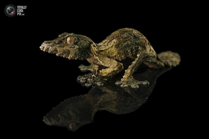 геккон сикора фото (700x465, 90Kb)