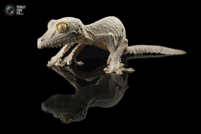 геккон сикора фото 4 (700x465, 86Kb)