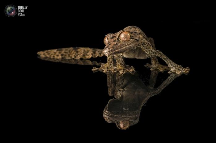 геккон хенкеля фото (700x465, 71Kb)