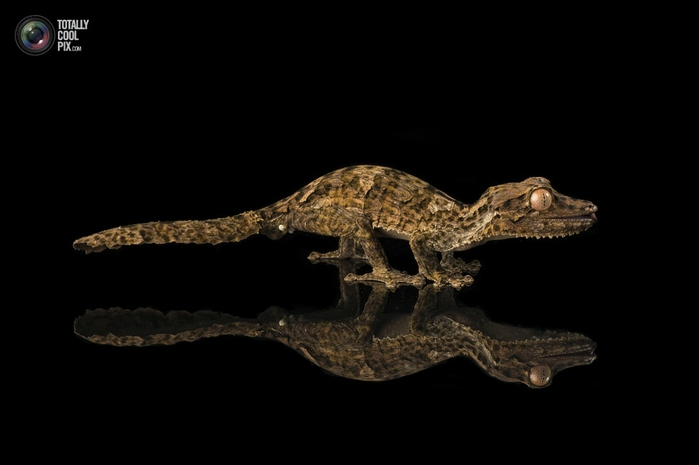 геккон хенкеля фото 2 (700x465, 74Kb)