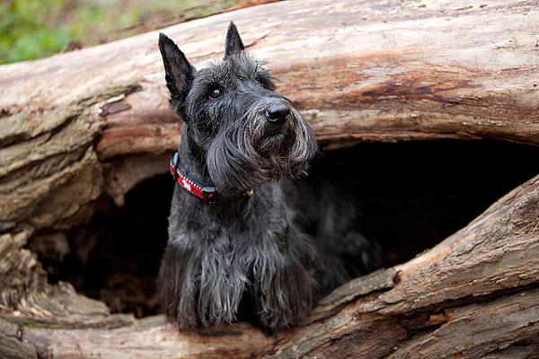 СКОТЧ-ТЕРЬЕР - рабочая собака